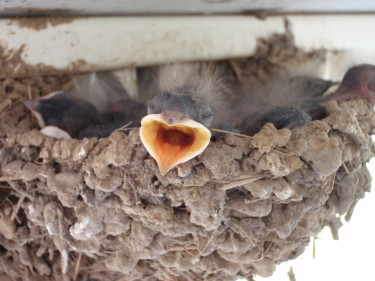 Barn Swallow nestling Kati Fleming: Wikipedia