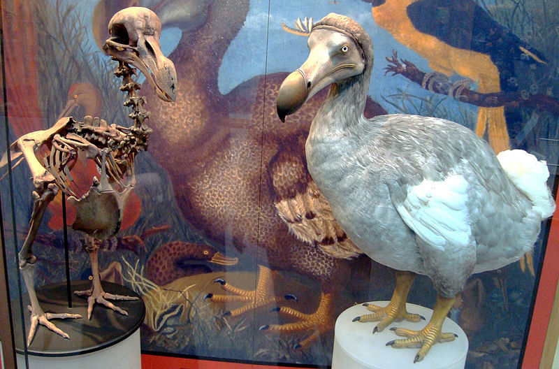 800px-Oxford_Dodo_display