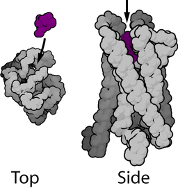 the mu opioid receptor is a large, coiled structure with an opioid binding site at the top.